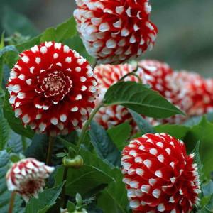 Георгины на цветочной клумбе
