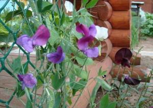 Растения у дачного забора