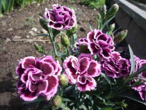 Цветение гвоздики в саду