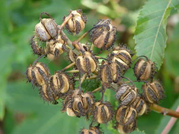 Семена готовы к сбору