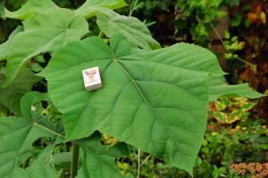 Листья павловнии