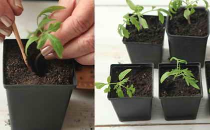 Пикировка сеянцев помидор в отдельные горшочки