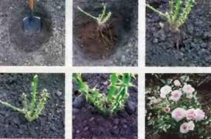 Посадка роз с открытой корневой системой