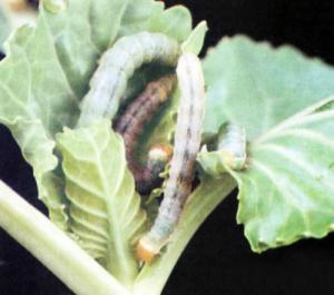 Вредители на огородных грядках