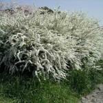 Спирея белоцветковая