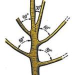 Строение ветвей