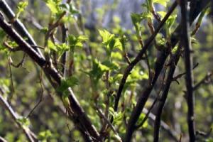 Как обрезать поврежденные деревья