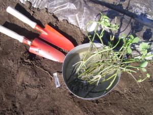 Высадка растения в открытый грунт