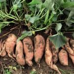 Урожай батата