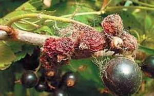 Мучнистая роса на ягодах