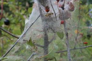 Паутинный клещ на огороде