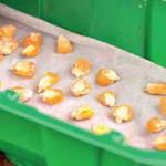 Проращивание кукурузы