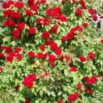 Садовый розарий
