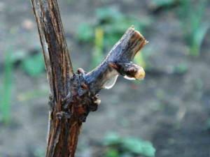sokodvizenie_vinograda1