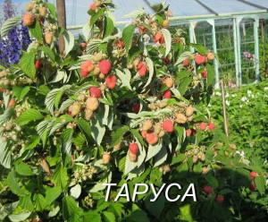 Кусты малины на огороде