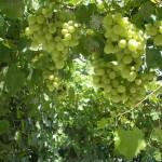 Садовый виноградник