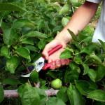 Процесс обрезки яблони