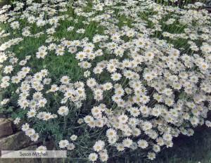 Выращивание пупавки из семян
