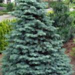 Хвойное дерево в саду