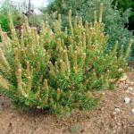 Сосна Pinus banksiana Chippewa