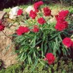 Гвоздики в саду