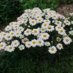 Леукантемелла на садовой клумбе