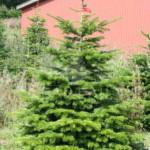 Хвойное дерево на дачном участке