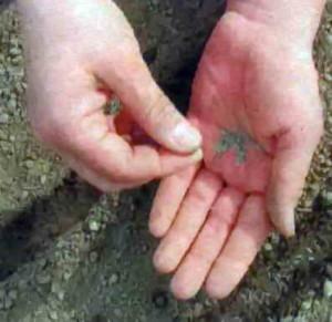 Выращивание пиретрумов из семян