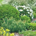 Сосна на садовом участке