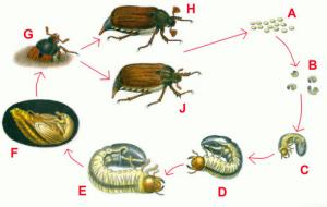 Жизненный цикл жука