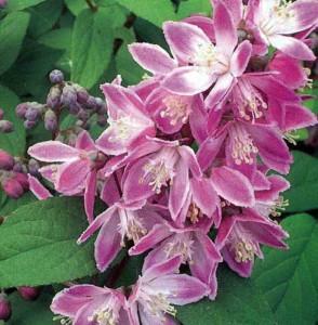 Цветки дейции Лемуана