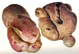 Деформация картофеля