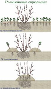Размножение боярышника отводками