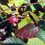 Лещина обыкновенная пурпурнолистная
