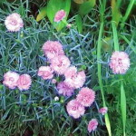 Гвоздика (Dianthus hybrida), сорт Tinny Rubies