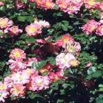 Роза группы флорибунда