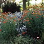 Дуэт оранжево-терракотового тысячелистника и серебристо-белого синеголовника