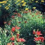 Оранжево-красные лилии и лилейники