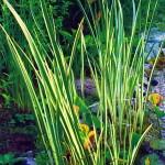 Аир болотный, сорт Variegata