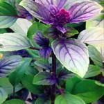 Базилик (Ocimum basilicum) с фиолетовыми листьями
