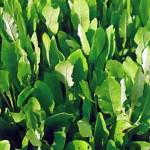 Кануфер (Tanacetum balsamita)