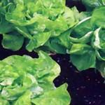 Салат зеленый (сорта)