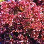 Салат красный (сорта)