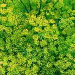 Укроп (Anethum graveolens)