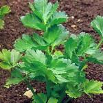 Корневой сельдерей (Apium graveolens)