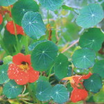 Настурция (Tropaeolum х cultorum), сорт «Аляска»