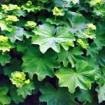 Растение Манжетка
