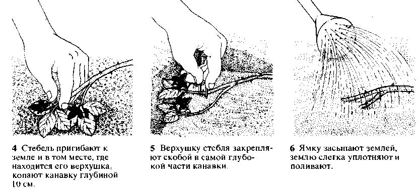 Размножение верхушечными отводками