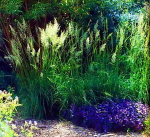 Декоративные злаки в саду