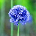Лук голубой (Allium caeruleum)